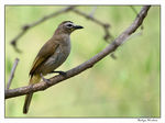Title: white browed bulbul
