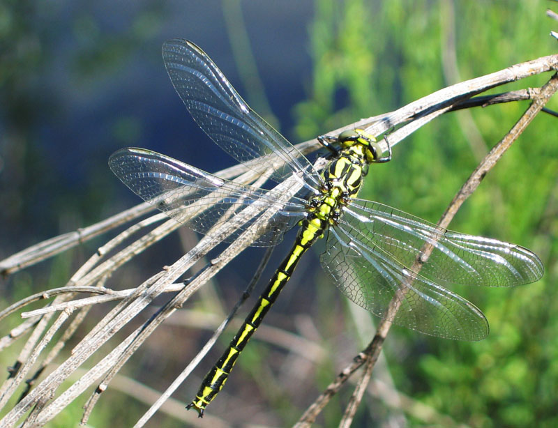 Pronged Clubtail