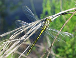 Title: Pronged Clubtail