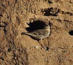 Title: Rock Sparrow