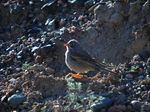 Title: Grey-necked Bunting