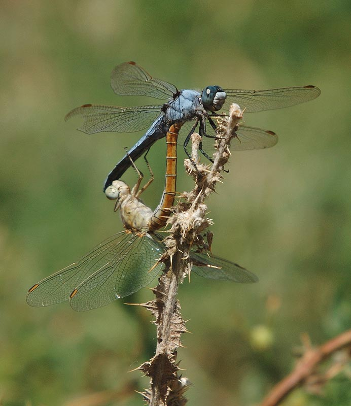 Southern skimmers