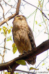 Title: Brown Fish owl