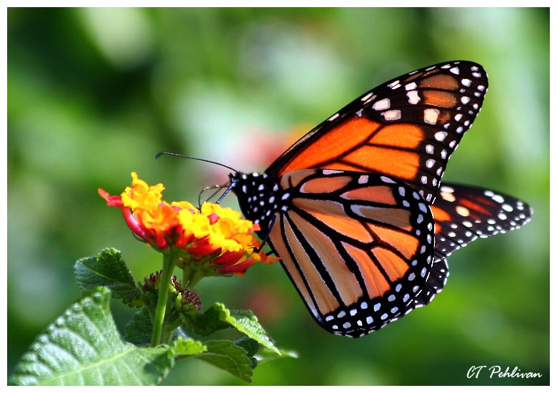 Monarch with Lantana
