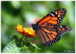 Title: Monarch with Lantana