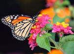 Title: Monarch with Lantana Flowers