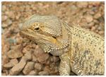 Title: Central Bearded Dragon