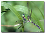 Title: Eastern Pond Hawk Dragonfly