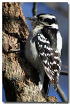 Title: Female Downy Woodpecker