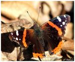 Title: Red Admiral