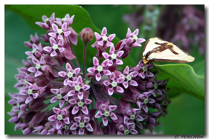 Common Milkweed with A Moth