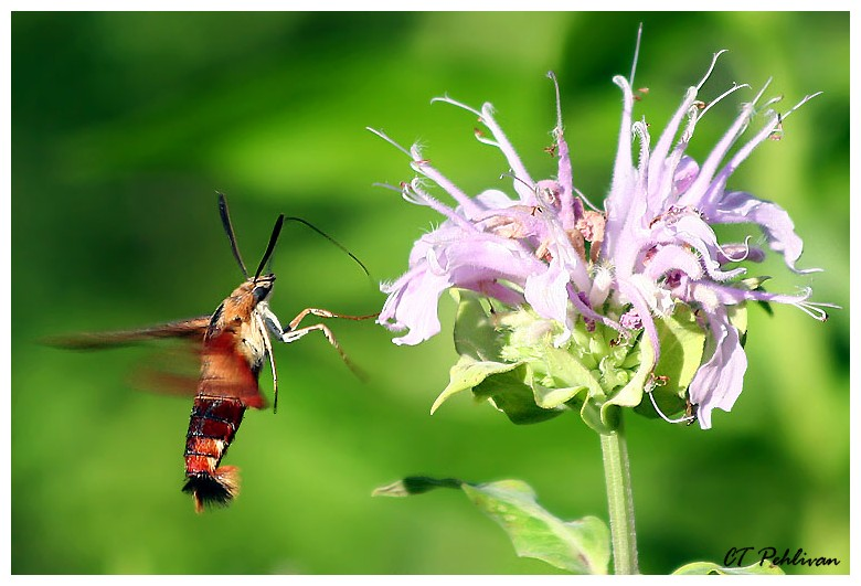 My 1st Hummingbird Hawk-moth