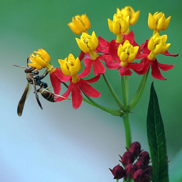 A wasp with scents