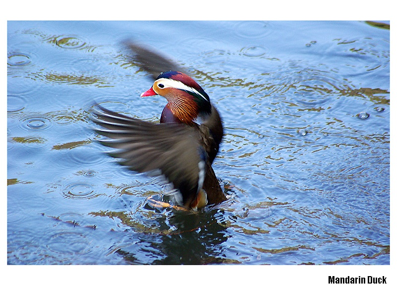 Duck standing in surface of the water