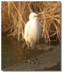 Title: Standing white heron