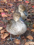 Title: Twin Northern Pintail