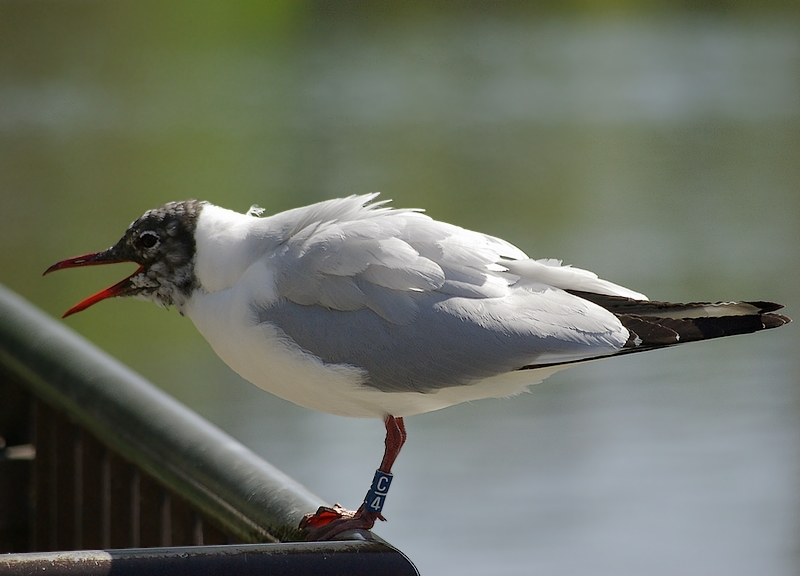 The seagull which is barking