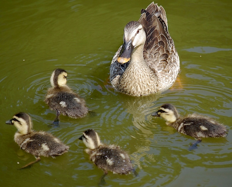 The family of Spot-billed Duck
