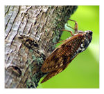Title: Cicada stopping the tree