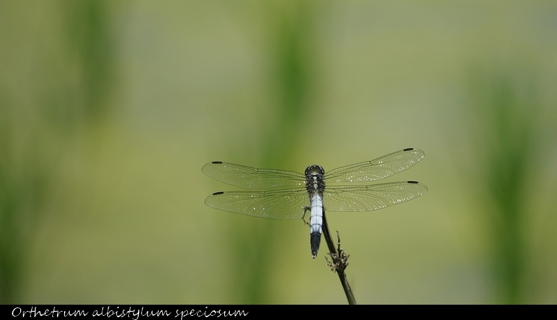 Common skimmer in rice field