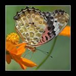 Title: The Indian Fritillary