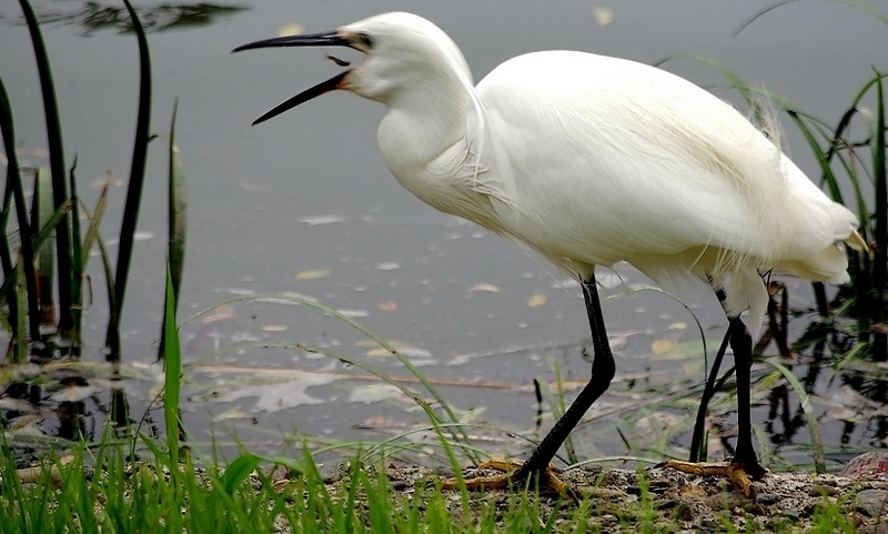 Little Egret swallowing a small fish