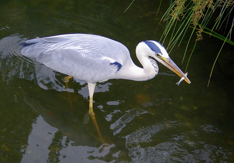 Grey Heron catching a small fish