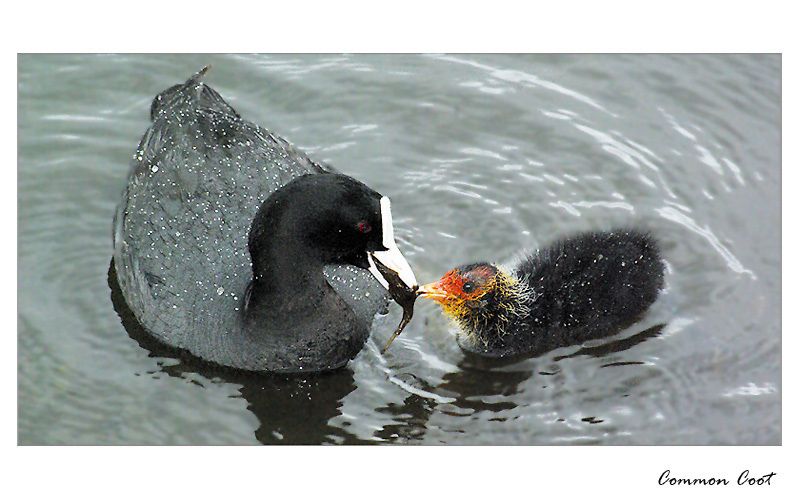 Coots in rainy day