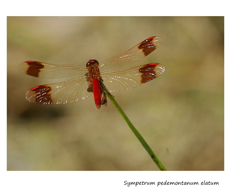 Red dragonfly on green stalk