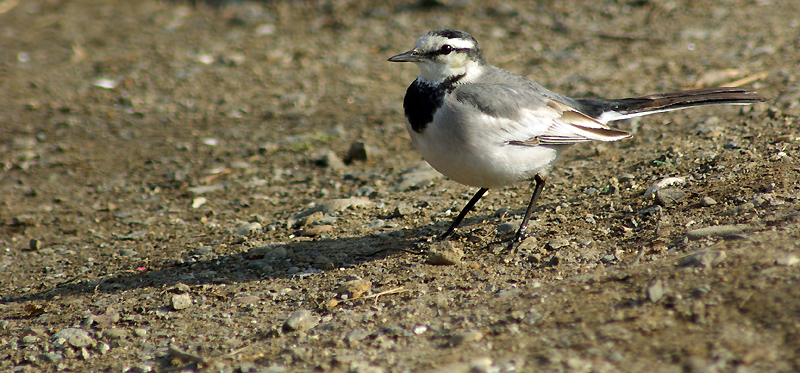 White Wagtail on ground