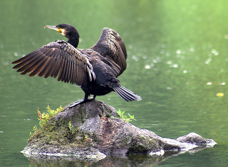The great cormorant  on the rock