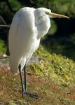 Title: Great Egret standing on loose slopePentax K10D