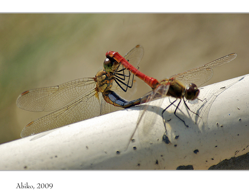 Mysterious mating of dragonfly