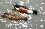 Title: Duck's married couple