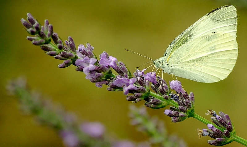 The Small White on lavender