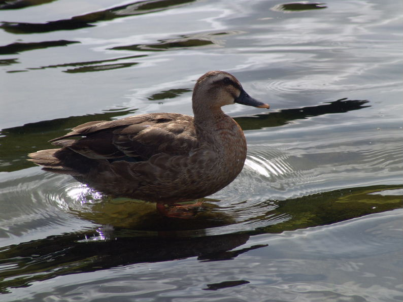 Duck standing on water