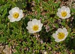 Title: Mountain Avens