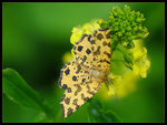 Title: Speckled Yellow