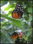 Title: Tiger longwing (Heliconius hecale)Fujifilm Finepix S7000