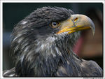 Title: Bald Eagle - female -Panasonic Lumix DMC-FZ50