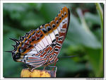 Title: Charaxes castor