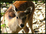 Title: Persian fallow deer - female -
