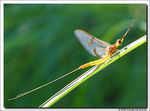 Title: Small spurwing Mayfly in the sunlite