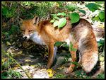 Title: Red Fox - female -