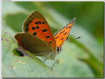 Title: Small Copper
