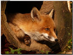Title: Red Fox