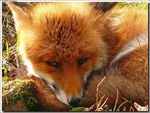 Title: Tired fox