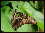Title: Graphium agamemnon (Tailed Jay)