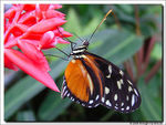 Title: Tiger longwing