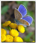 Title: Common Blue (male)